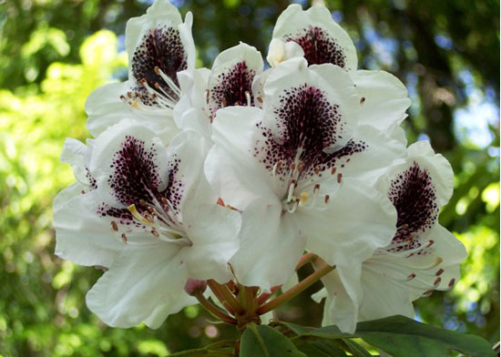 Rhododendrums